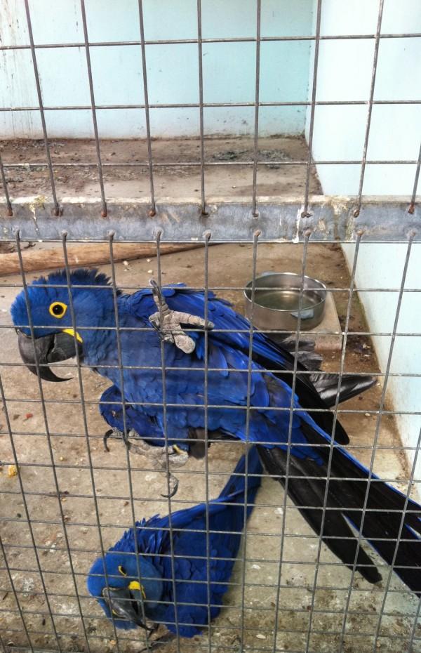 BLUE MAKAW