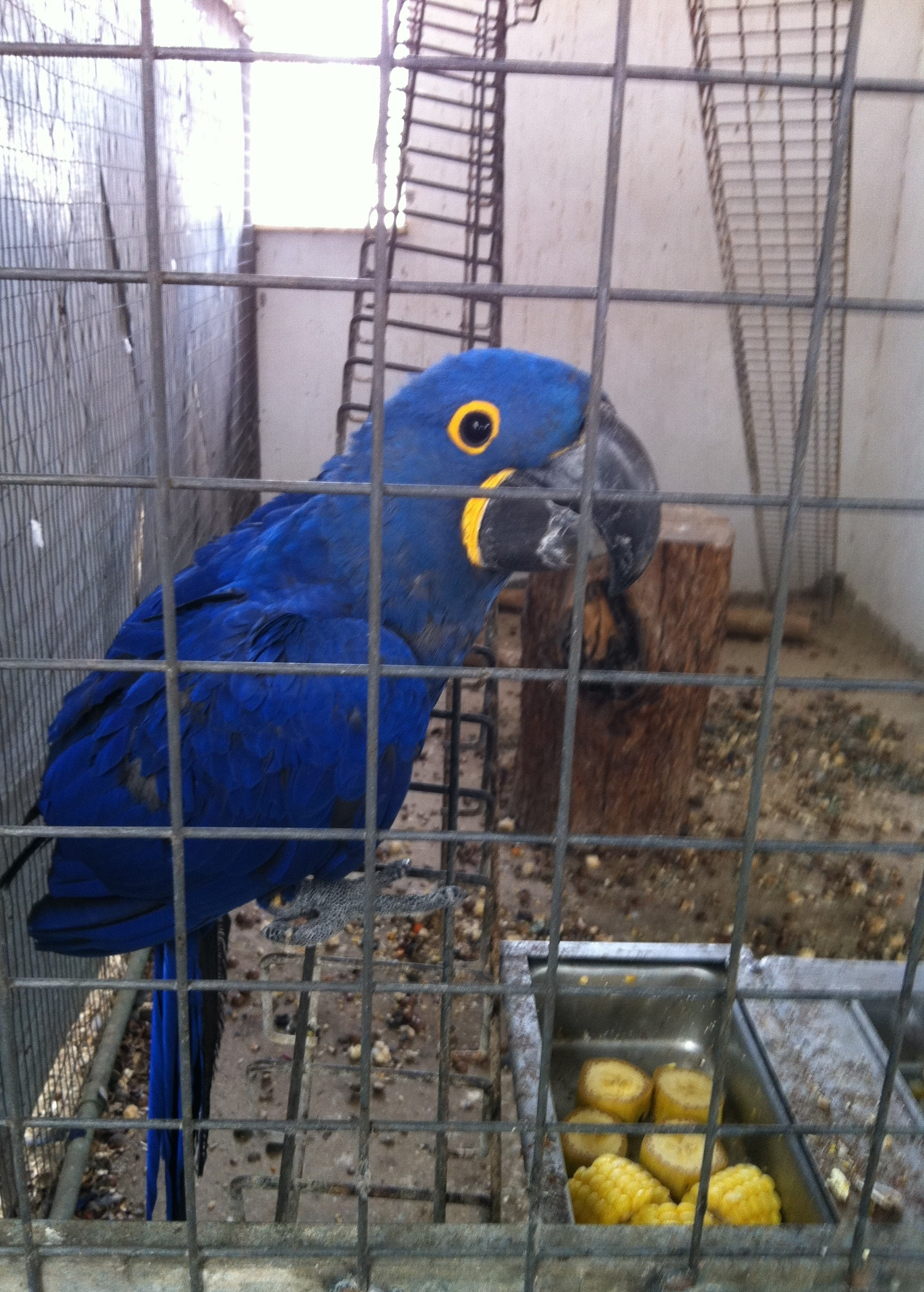 MACAW BLUE