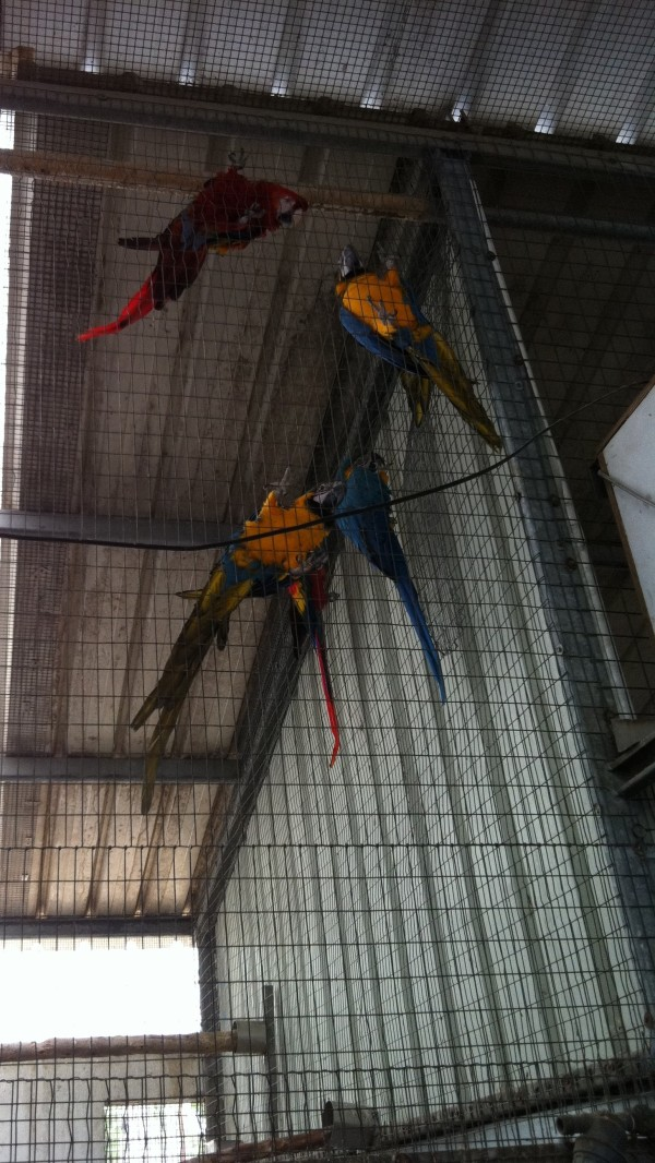 Parrot macaw  bluegold 