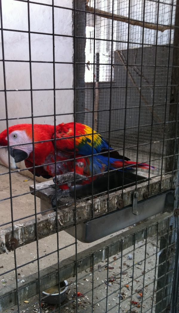 Parrot macaw scarlet 
